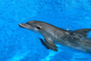 Picture of dolphin; Size=130 pixels wide